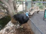 Learn about Cassowary's