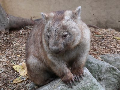 Be side by side with a solid Wombat