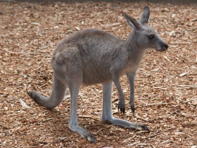 Say hello to a Kangaroo